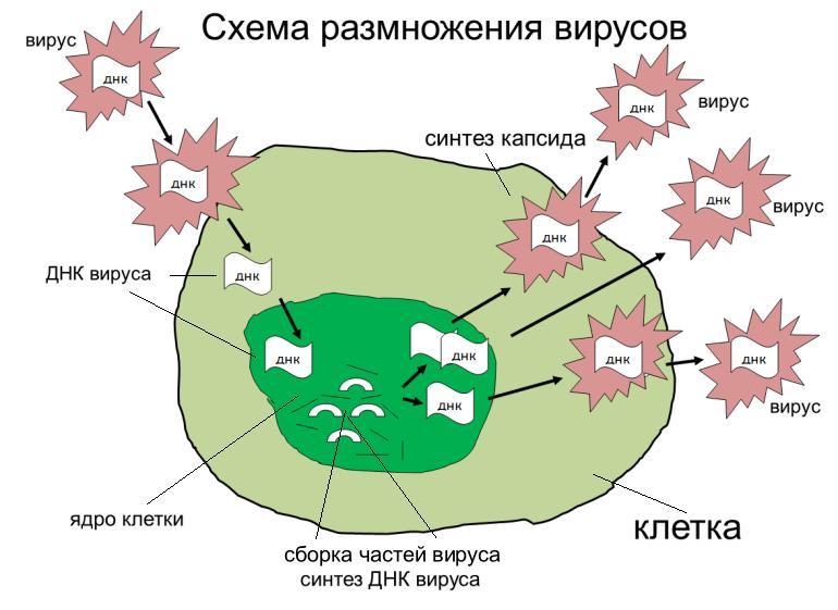 схема размножения вируса