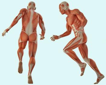 функции мышечной системы